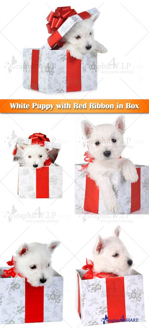 White Puppy with Red Ribbon in Box - Stock Photos